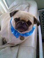 Je suis obligée de vous laisser en bonus une photo de ce chien déguisé en Percy.