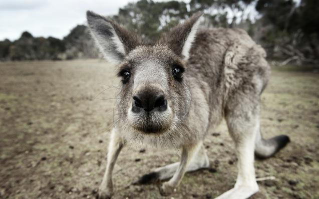Un jeune Kangourou